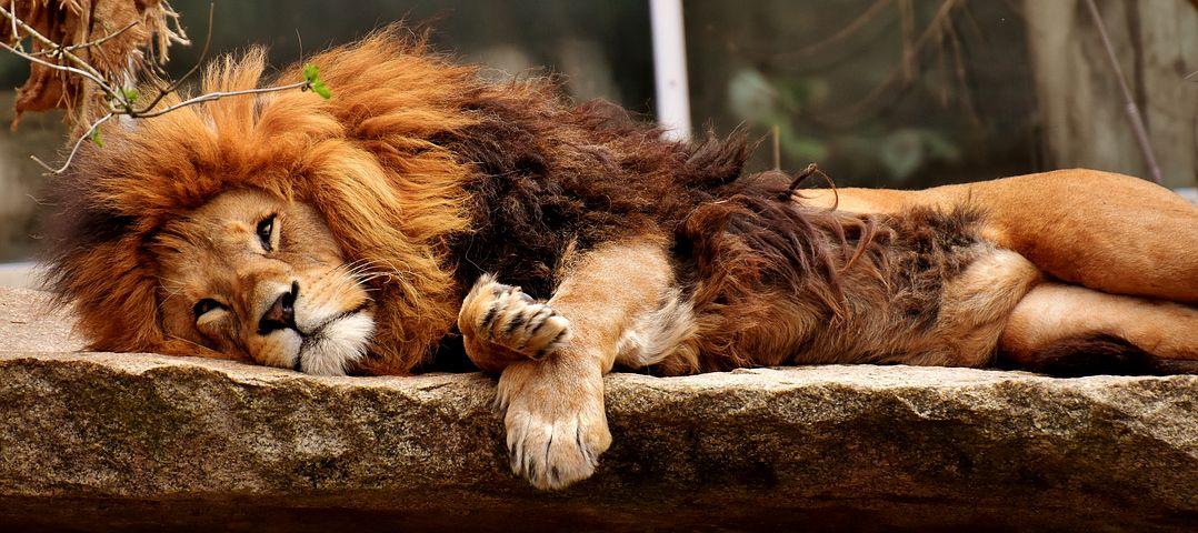 Lion Predator